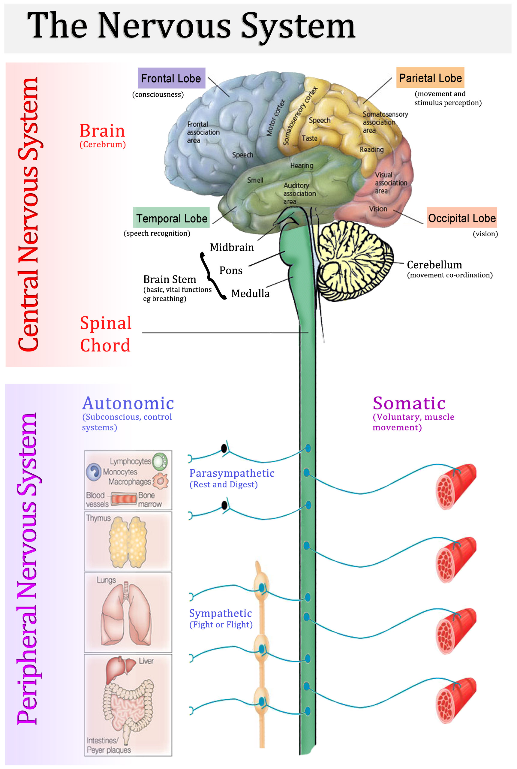 Central Nervous System vs Peripheral Nervous System