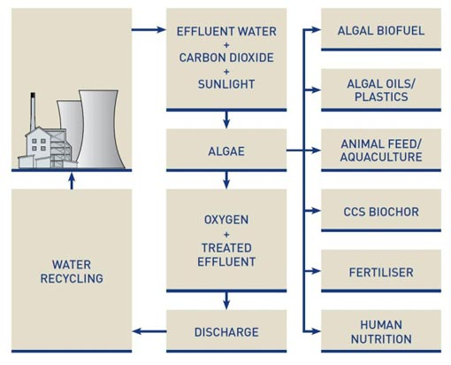 Algal biosequestration - AngloAmerican